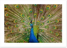 Peacock pride Art Print 23385966