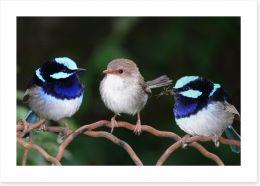 Blue fairy wren trio Art Print 2428565