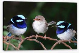 Blue fairy wren trio Stretched Canvas 2428565