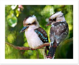 Kookaburra couple