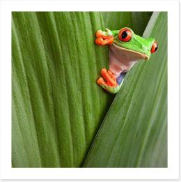 Peeping red eyed tree frog