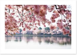 Cherry blossoms on the lake Art Print 41977013