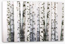 Birch beauty Stretched Canvas 43264231
