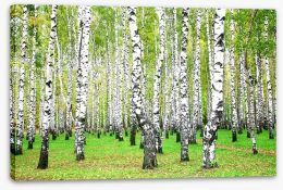 Silver birch grove Stretched Canvas 45508746