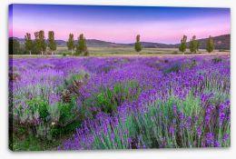 Lavender sunset Stretched Canvas 49777064