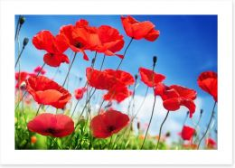 Poppies on a sunny day
