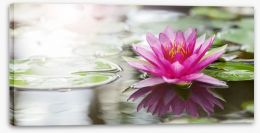 Pink water lily Stretched Canvas 52988888