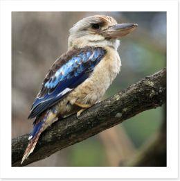 Kookaburra on a gum tree