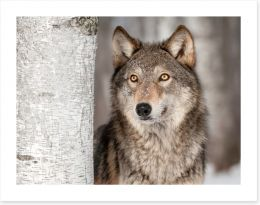 Grey wolf in the snow Art Print 55193652