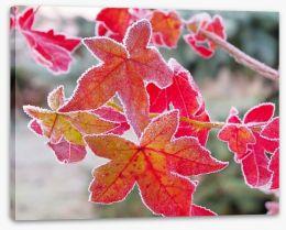 Sweet gum under frost
