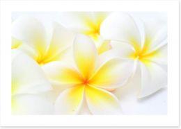 Tropical frangipani