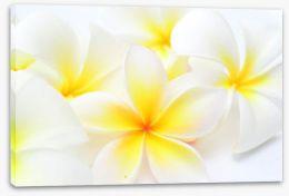 Tropical frangipani Stretched Canvas 60856639