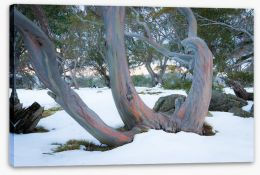 Pink snow gums Stretched Canvas 60897695
