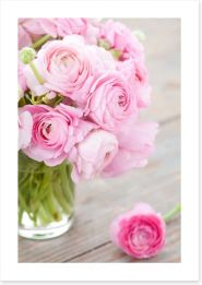 White and pink ranunculus