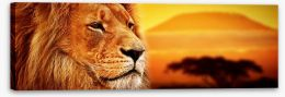 The lion at Mount Kilimanjaro sunset Stretched Canvas 62334577