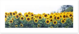 Sunflower meadow panoramic Art Print 63339170
