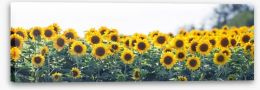 Sunflower meadow panoramic Stretched Canvas 63339170