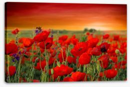 Scarlet red poppy field Stretched Canvas 66022514