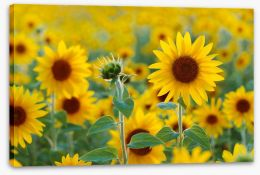 Sunflower field Stretched Canvas 67659213
