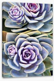Purple tinged succulent Stretched Canvas 71218138