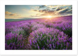 Lavender fields forever Art Print 88269062