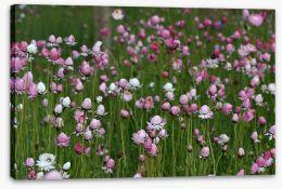 Field of everlasting daisies