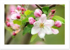 Pink apple blossom Art Print 30839570