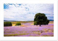 Picture perfect lavender farm