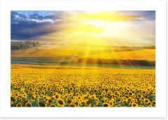 Sunflower field sunset Art Print 39907923