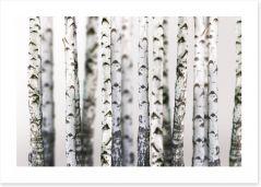 Birch beauty Art Print 43264231