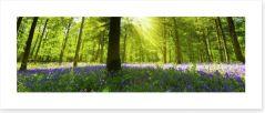 Bluebell woods panorama Art Print 49499975