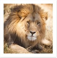 The noble lion, Zambia