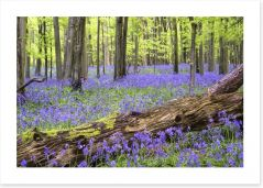 Vibrant bluebell forest
