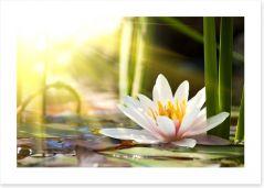 Sunbeam on lotus Art Print 58356953