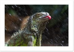 Iguana takes a shower