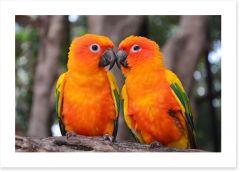 Cockatoo kiss Art Print 69754142