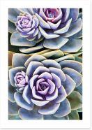 Purple tinged succulent Art Print 71218138