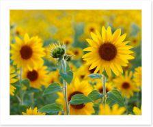 Sunflower field (Custom)