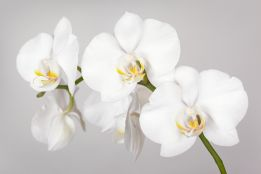 White orchid branch