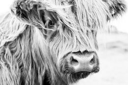 Highland cow monochrome