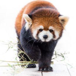 Red panda prowl