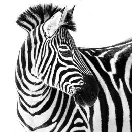 Up close and zebra
