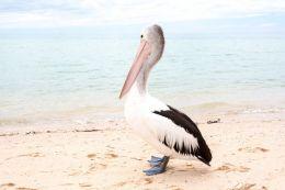Monkey Mia pelican