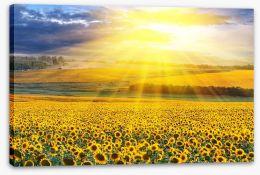 Sunflower field sunset Stretched Canvas 39907923