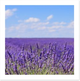 Lavender blooms in Provence