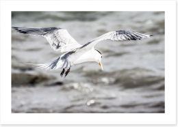 A Crested Tern on Rottnest Island Art Print 48186775