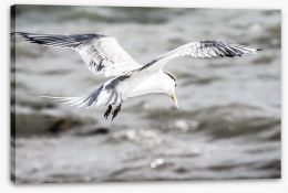 A Crested Tern on Rottnest Island Stretched Canvas 48186775