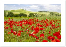 Tuscany poppies