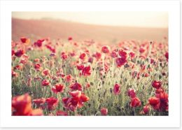 Poppy field sundown