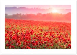 Poppy morning mist